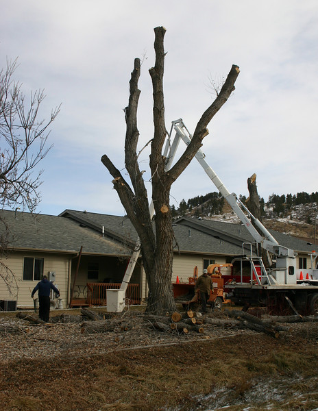 Another view of workers removing dead trees from behind Yellowstone Place townhouses.