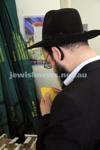20-9-10. Succot. Etrogs on sale in Melbourne. Etrog being checked to make sure it is blemish free. Photo: Peter Haskin