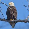 NWS-PT013015-eagles03.jpg