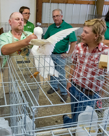 During the poultry show on Monday afternoon at the Cass County Fair, judge Tim Calloway examines thirteen-year-old Keenan Appleton's crested duck while testing the youth's knowledge of the fowl and gives him pointers on what makes a good show animal. Fran Ruchalski | Pharos-Tribune