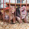 For some, being at the Cass County Fair is so-so, but others are happy as a pig in...well, you know. Fran Ruchalski | Pharos-Tribune