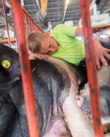 Owen Thomas, 11, relaxes with his hogs, Uncle Sam and Spot  before he has to prepare them to go out in the show ring. Fran Ruchalski | Pharos-Tribune