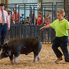 Owen Thomas, 11, takes his hog, Spot, out into the show ring in the Berkshire barrow, 225-240 lbs. class under the evaluative eye of judge Tyler Graddert at the Cass County Fair on Thursday afternoon. Fran Ruchalski | Pharos-Tribune