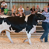 Conner Walker walks one of his dairy steers around the ring during the dairy steer competition on Wednesday morning at the Cass County Fair. Fran Ruchalski | Pharos-Tribune