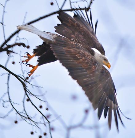 NWS-PT013015-eagles01.jpg