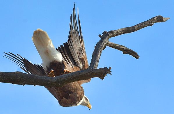 NWS-PT013015-eagles05A.jpg