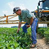 Kevin Wilson looks through some of the plants to check on the unripe tomatoes at one of their farms in Galveston on Tuesday, July 6, 2021.