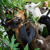 Goats help themselves to leaves from a tree at Twin Willows farm in Logansport on Friday, July 23, 2021.