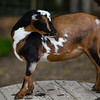 A goat stands on a spool at Twin Willows farm in Logansport on Friday, July 23, 2021.