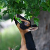 A goat reaches up to grab a leaf at Twin Willows farm in Logansport on Friday, July 23, 2021.