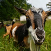 A goat walks through the pasture at Twin Willows farm in Logansport on Friday, July 23, 2021.