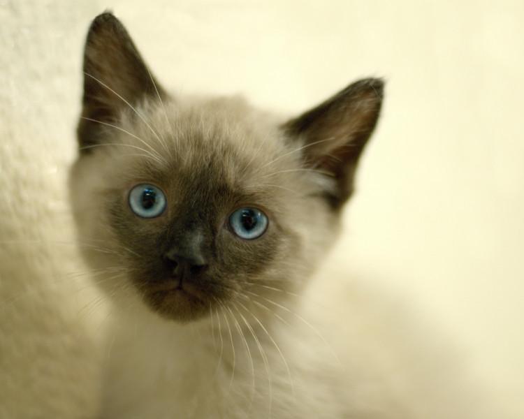 Siamese kitten, June 2008