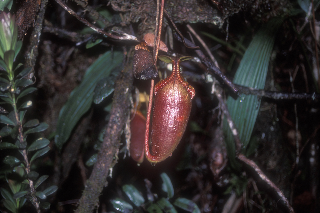 "Here was a sign, ""NEPENTHES VILLOSA areas 9000-10,300 ft."" by which they meant those curious pitcher plants were about, and we spied several in the woods, the biggest the size of two fists."