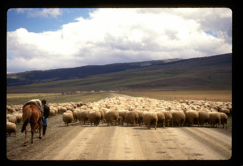 A thousand sheep blocked the road outside Torres del Payne park. Two gauchos and a squad of dogs marched them forward. The dogs ran and darted, responding to the gauchos' whistles, and moved the sheep off the road for us. They, and we, were bound for a place called Estancia Domingo (Domingo's ranch). You can see it in the distance.