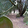 a very old bush