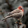 House Finch Puffed Up