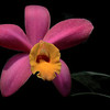 Heart of the Matter<br /> Selected for 2014 Longwood Gardens Orchid Extravaganza Photo Exhibition