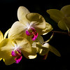 Yellow Beauty<br /> Selected for 2014 Longwood Gardens Orchid Extravaganza Photo Exhibition