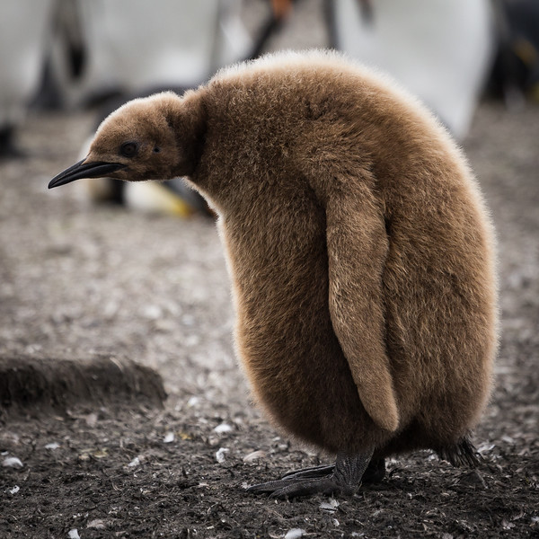 Depressed-looking King Penguin chick