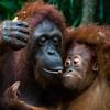 A_Set_Orangutans_BrianJ