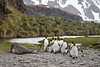 King Penguins marching past a weaner