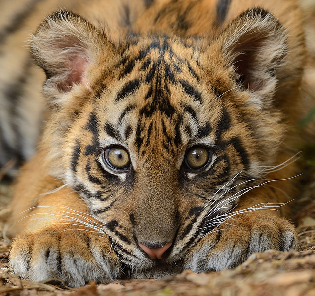 Sumatran Tiger Cub by Mike Wilson