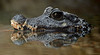 African Dwarf Crocodile by Mike Wilson