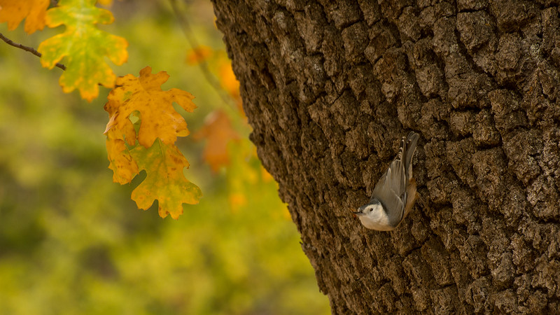 Nuthatch Checking Fall Leaves by Zan Just