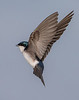 Tree swallow in Flight by Neil Solomon