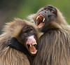 Gelada Males Interacting by Mike Wilson