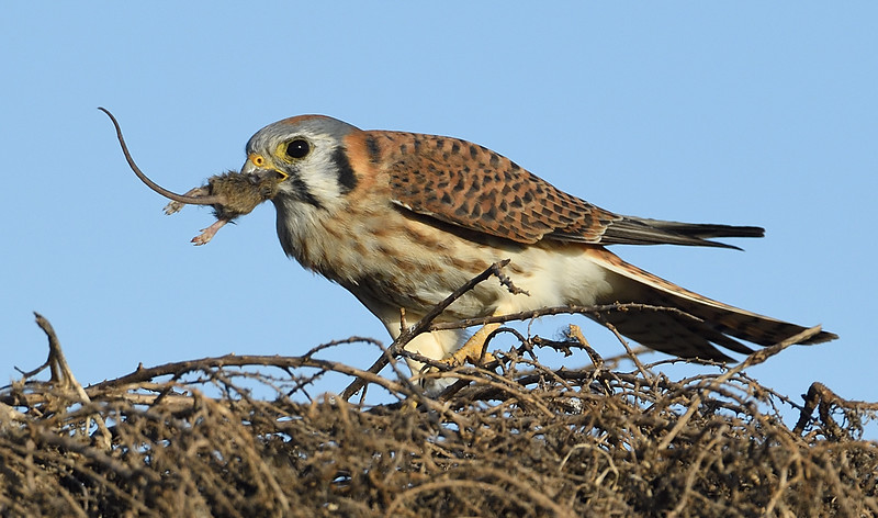American Kestrel With a Tasty Treat by Debbie Beals