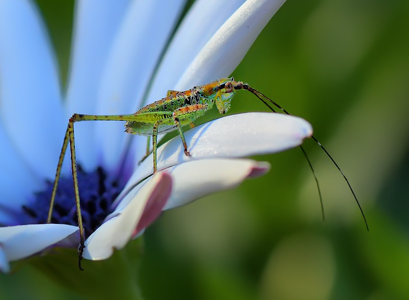 Young Katydid Peering Over The Edge by Mark Whitbeck
