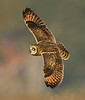 Short-eared Owl In Search Of Prey by Mike Wilson