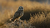 Short-eared owl in Habitat by Mike Wilson