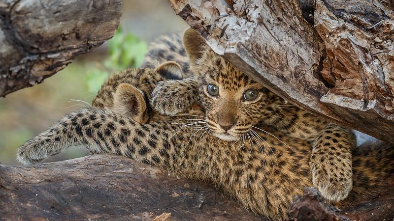 Leopard Cubs by David Clark