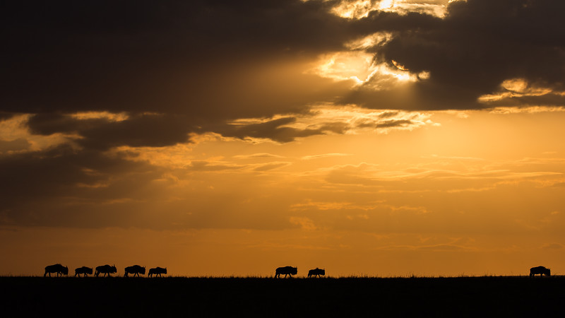 Wilderbeest at Sunrise by David Clark