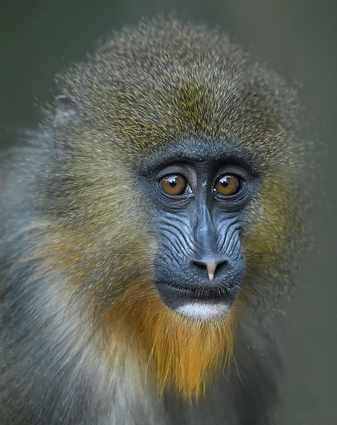 Young Mandrill by Debbie Beals