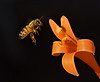 Bee in Flight, Lighting By Mother Nature by Mark Whitbeck