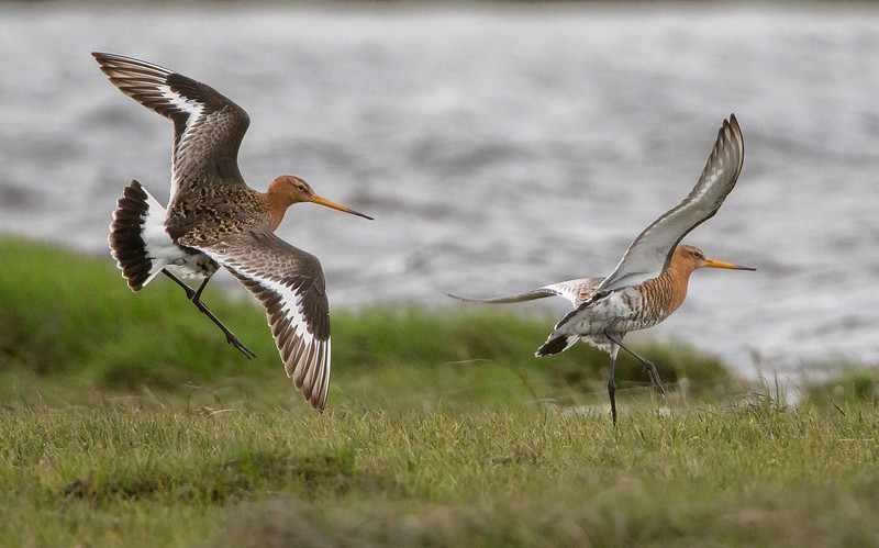 The Mating Chase by Neil Solomon