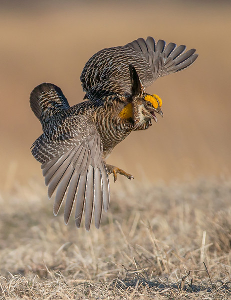 Male Greater Prairie Chicken Defends His Territory by Neil Solomon