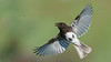 Black Phoebe Chasing A Bug by Dave Clark