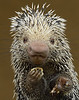 Prehensile Tailed Porcupine AKA Marshmallow Nose by Debbie Beals