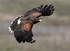 Harris Hawk By Mike Wilson