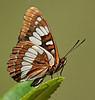 Lorquin's Admiral By Mike Wilson