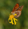 Fritillary Butterfly By Rocky Just