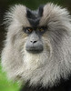 Lion-tailed Macaque By Debbie Beals