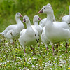 Snow Geese in a Summer Meadow