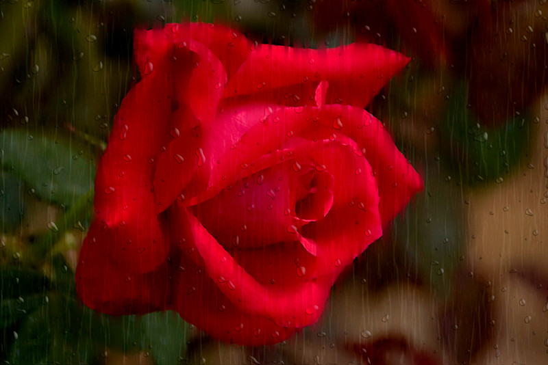 Blue Ribbon<br /> Advanced Color Class<br /> Rainy Day Rose<br /> Dana Vannoy