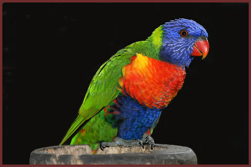 Yellow Ribbon<br /> Advanced Color Class<br /> Lorikeet Alert<br /> Dana Vannoy
