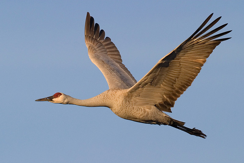 Blue Ribbon<br /> Advanced Color Class<br /> Sandhill Crane in Flight<br /> Mike Landwehr